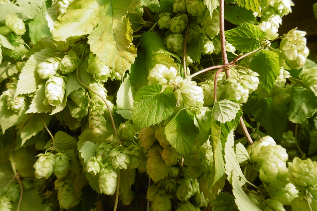 Hops 2 Sept 15 PG (1)